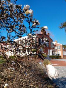 Magnolias in bloom at Buena Vista